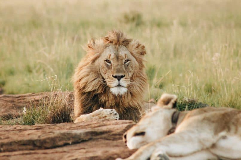 A lion.